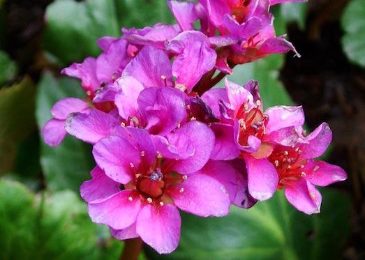Лечебные свойства растения бадан