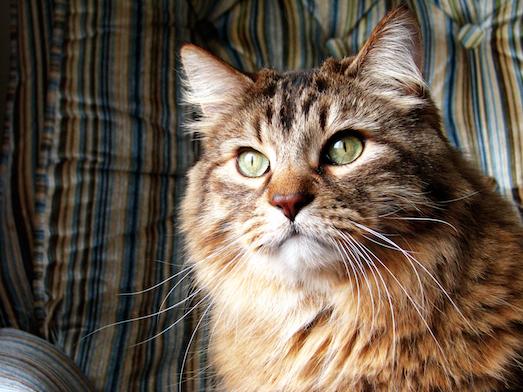 Норвежская лесная кошка — шикарный домашний питомец