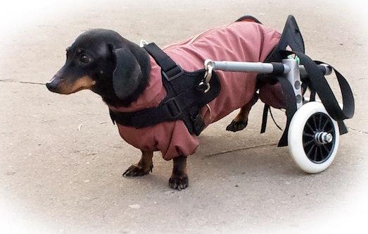Как выбрать инвалидную коляску для домашнего животного?