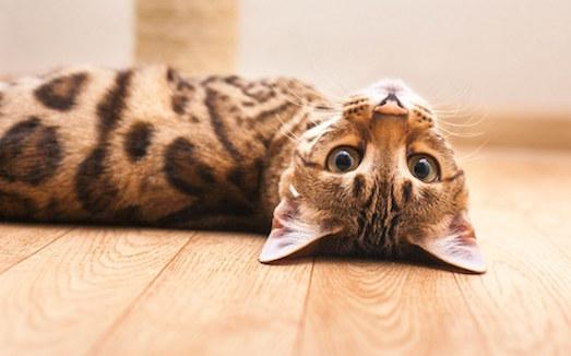 Роскошная порода бенгальских кошек