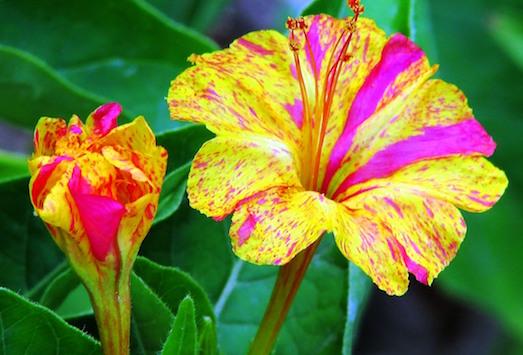 Мирабилис — доступный и красивый цветок для вашего сада