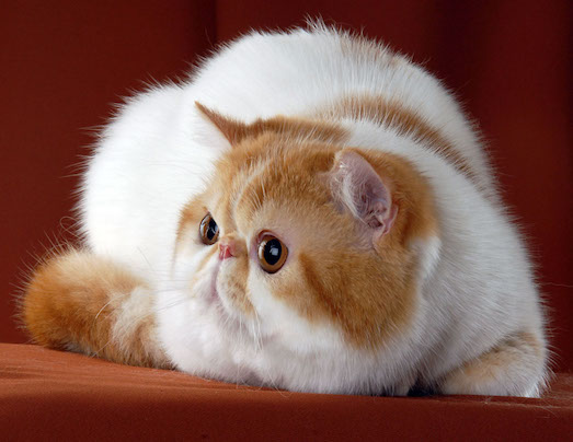 Экзот — необычная порода пушистых кошек