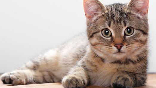 Какие породы кошек самые ласковые?