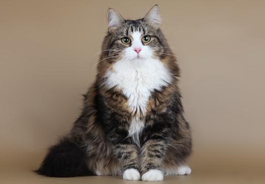 Особенности ухода за сибирскими кошками