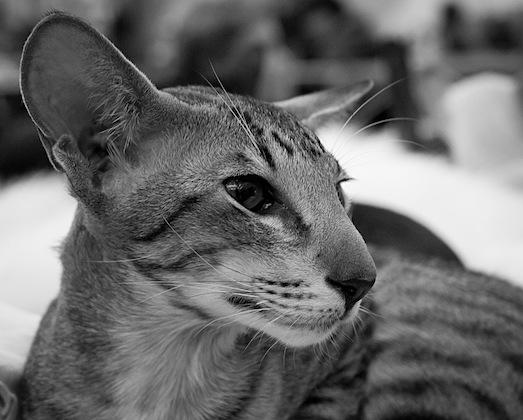 Плюсы и минусы ориентальной кошки