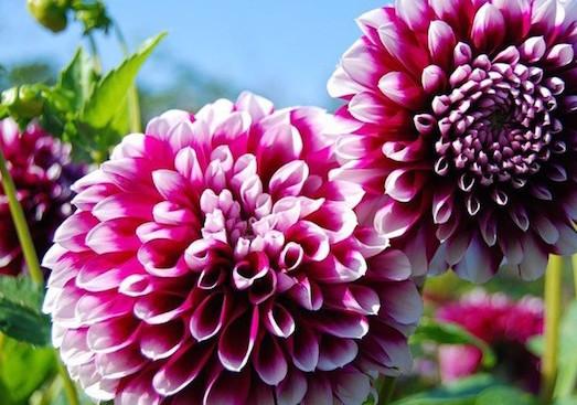 Георгины — роскошные цветы для вашего сада