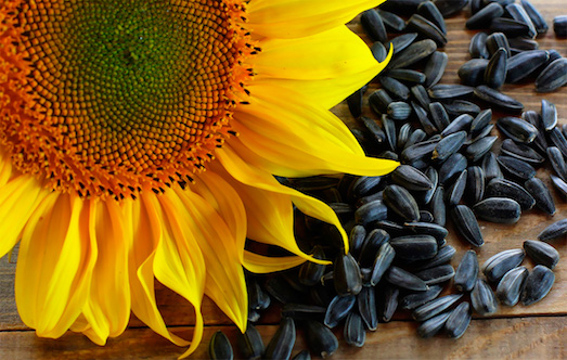 Полезные и вредные свойства семечек подсолнуха