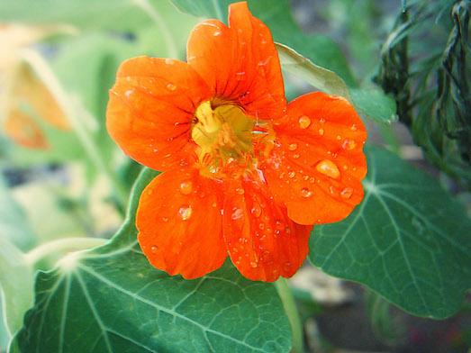 Настурция — отличное решение для вашего сада