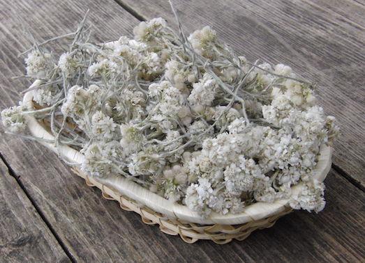 Полезные и опасные свойства травы кошачья лапка