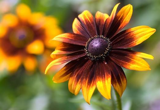 Рудбекия — цветок, который любят гномы