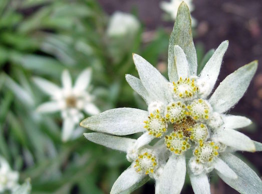 Как вырастить волшебный эдельвейс?