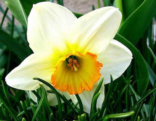 Роскошный и гордый цветок нарцисс
