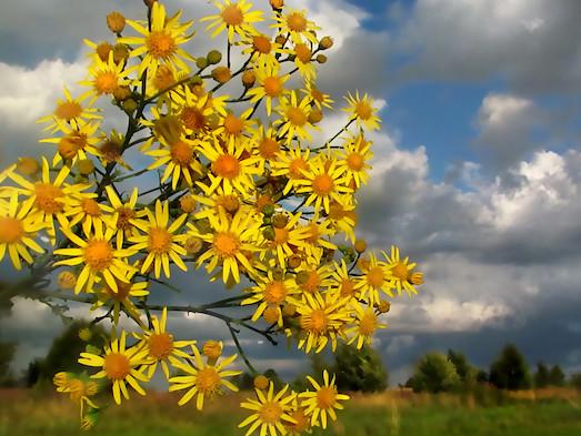 Полезные свойства растения золотая розга