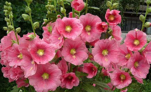 Штокроза — нежное и красивое украшение вашего сада