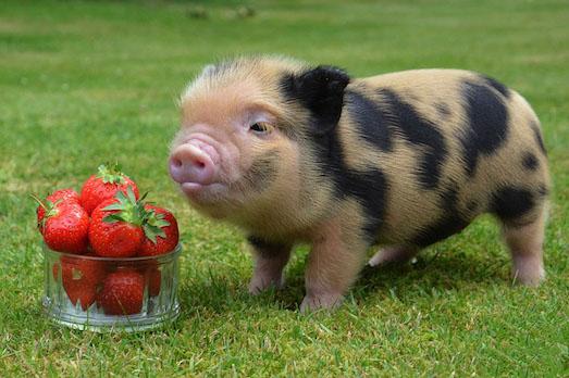 Плюсы и минусы декоративных свинок