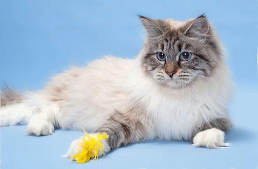 Особенности выращивания невской маскарадной кошки