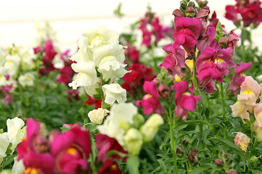 Советы по выращиванию цветка львиный зев