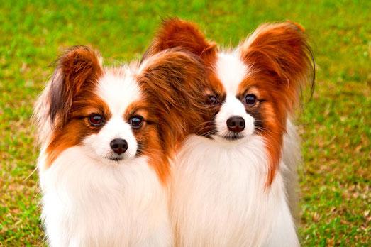 Папийон — интересная порода маленьких собак