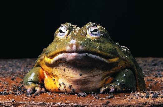 10 наиболее необычных лягушек в мире