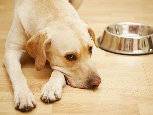 Как справиться с гастроэнтеритом у собак?