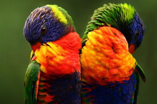 Самые популярные породы попугаев