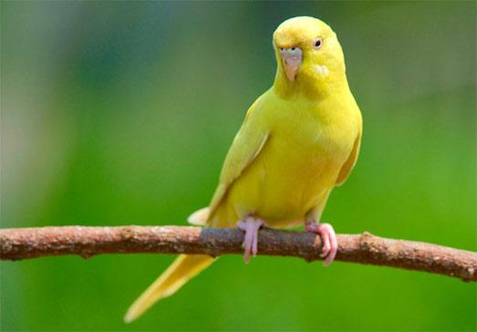 Как лечить понос у попугая?