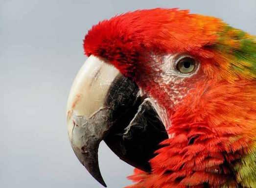Почему у попугая слоится клюв?