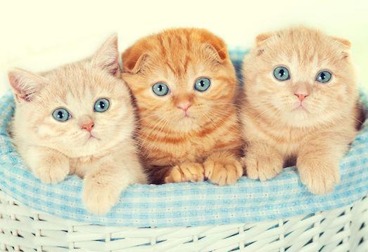 Что делать, когда кошка рожает?