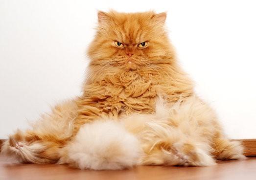 Возраст полового созревания кота