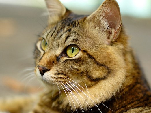 Чем опасен токсоплазмоз у кошек?