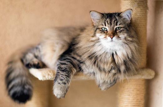 Как происходит беременность у кошки?