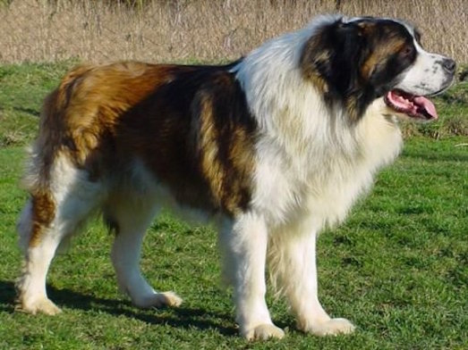 Кавказская овчарка — верный друг и отличный охраник