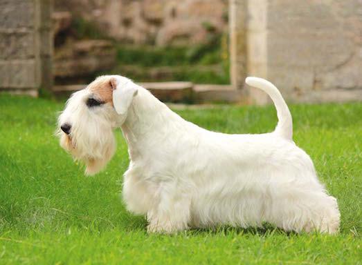 Редкая и интересная порода собак силихем-терьер
