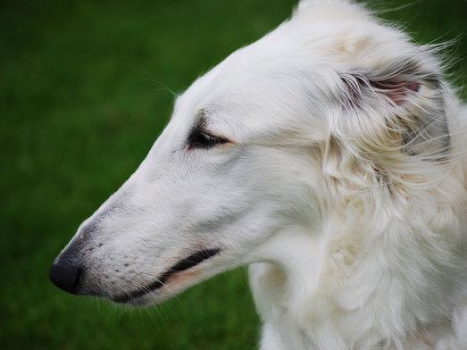 Особенности породы собак борзая