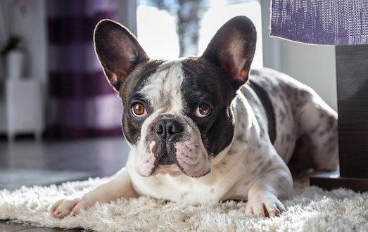 Оригинальная порода собак французский бульдог