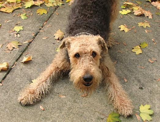 собаки похожие на эрдельтерьера породы