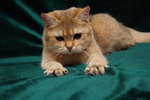 Что делать, если кошка царапается?