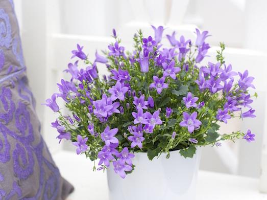 Кампанулу — яркое украшение для вашего сада