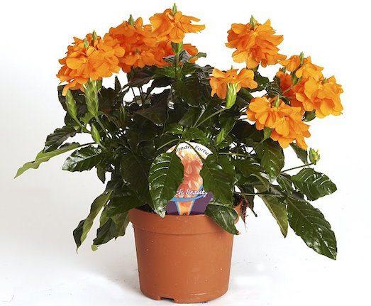 Кроссандра — яркое украшение для вашего дома