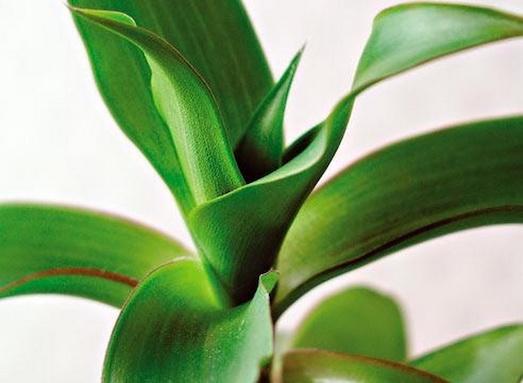 Полезные свойства растения золотой ус