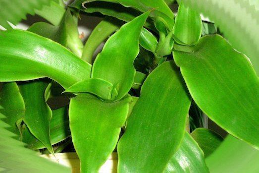 Корисні властивості рослини золотий вус