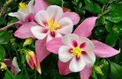 Аквилегия — роскошное украшение вашего сада