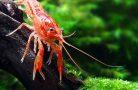 Правильный уход за аквариумными раками
