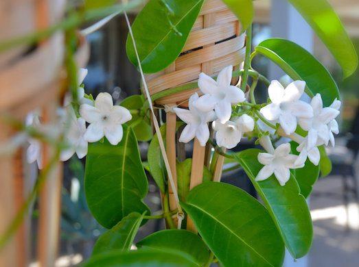 Стефанотис — красивый нежный цветок