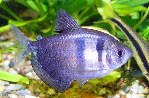 Красивая аквариумная рыбка тернеция