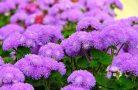 Секреты выращивания цветка агератум