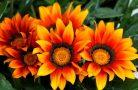 Как вырастить цветок газания на участке?