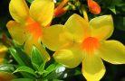 Правила ухода за цветком алламанда