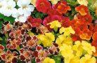 Особенности выращивания цветка мимулюс