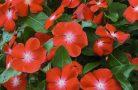 Особенности выращивания цветка катарантус